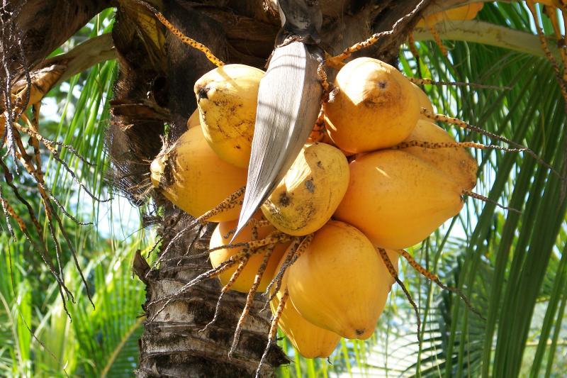 Coco fresco disponible todo el año