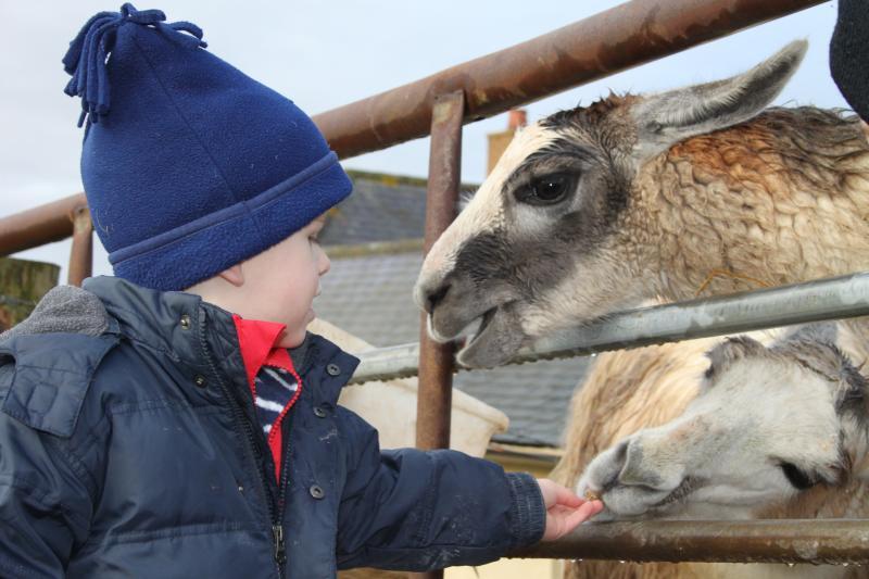 Feeding of Llamas
