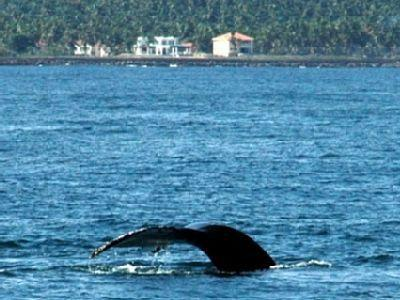 Whale watch from the balconies or pool December thru March!