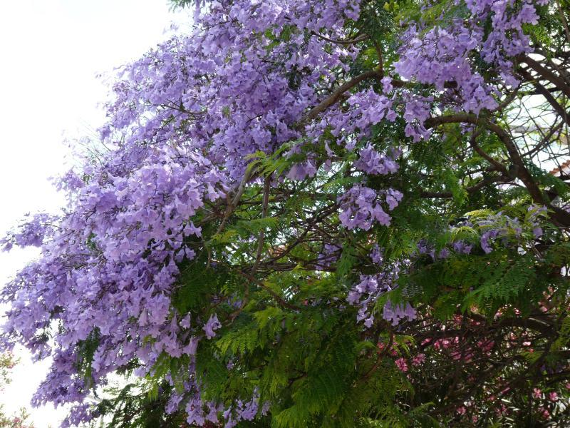 Flor de los árboles de Jacarandá en junio