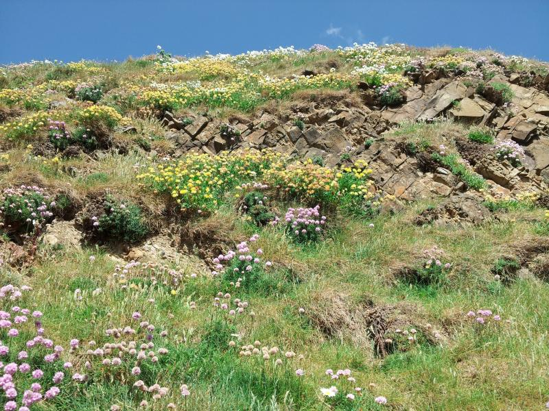 Wild flowers growing on the cliffs.