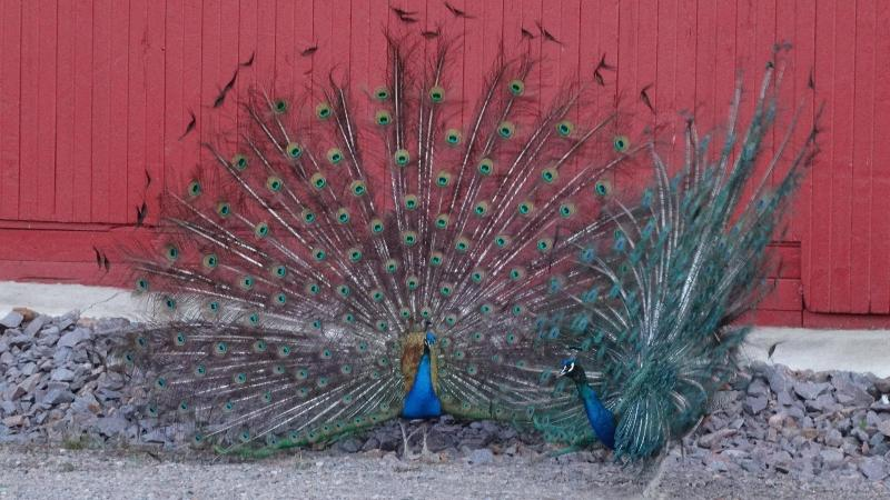 Peacocks at the lodge