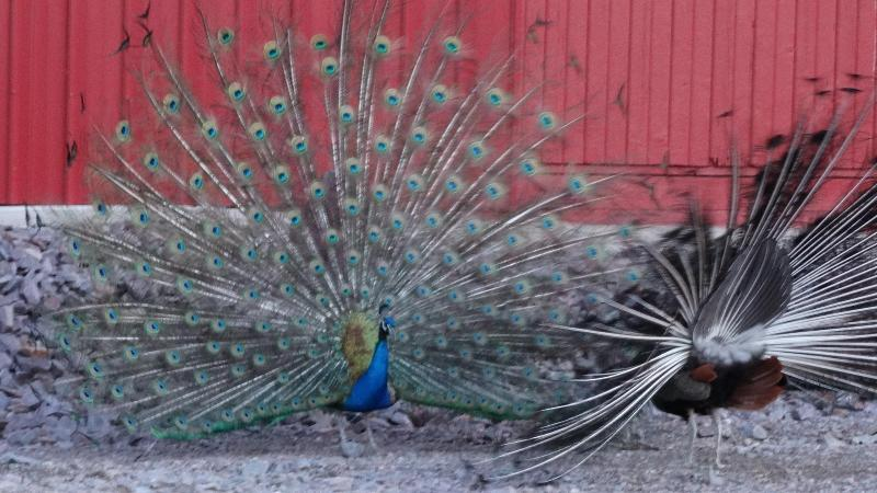 Peacocks showing off at the lodge