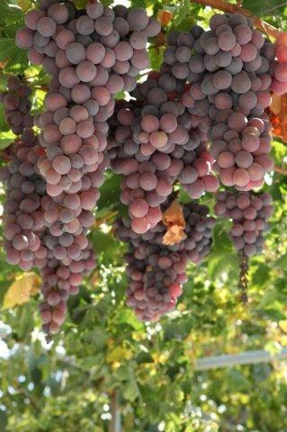 Lania Village grapevines