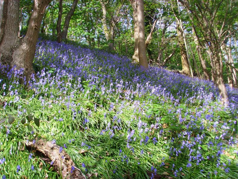 Bluebells in Porthouse Woods