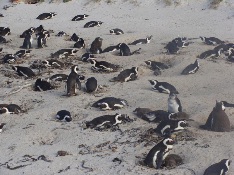 Penguins at Simonstown