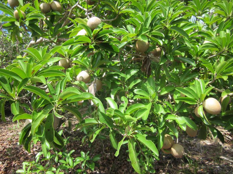 Natürlich Frucht (Sapodilla)