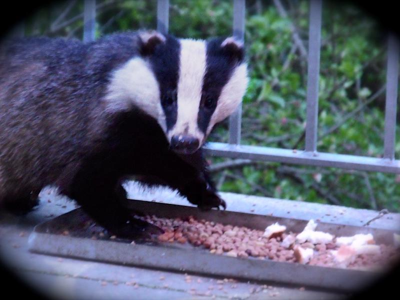 Badgers Visit @ Trewrach Cottage