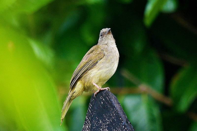 Ashy Fronted Bulbul (endemic to Palawan) resting on the Perimeter Fence.