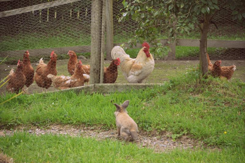 Our friendly hens will provide fresh eggs for your breakfast - enjoy!