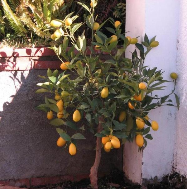 Lemon Tree for your gin & tonics!!!