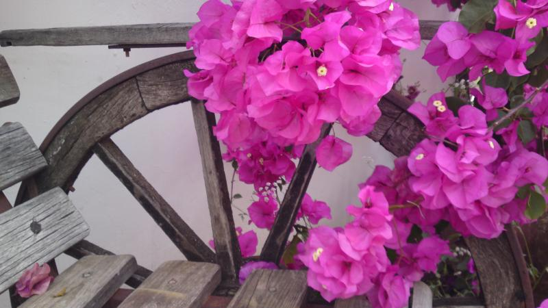Bougainvillea - the flower of summer and sunshine