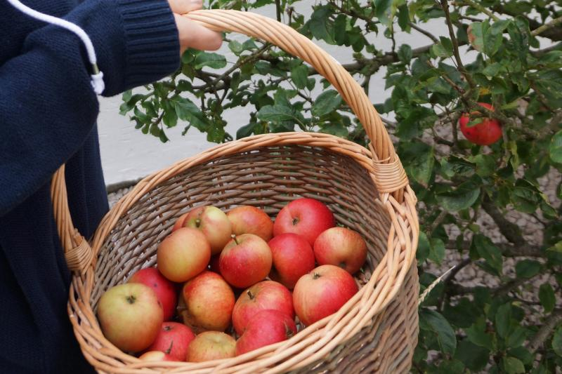 Apples from the Orchard Cottage garden
