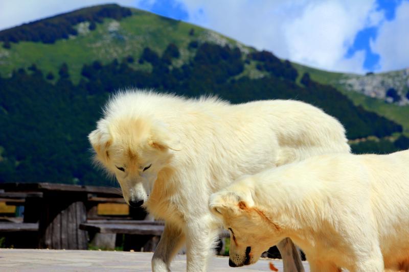 Typische abruzzesische Schäferhunde