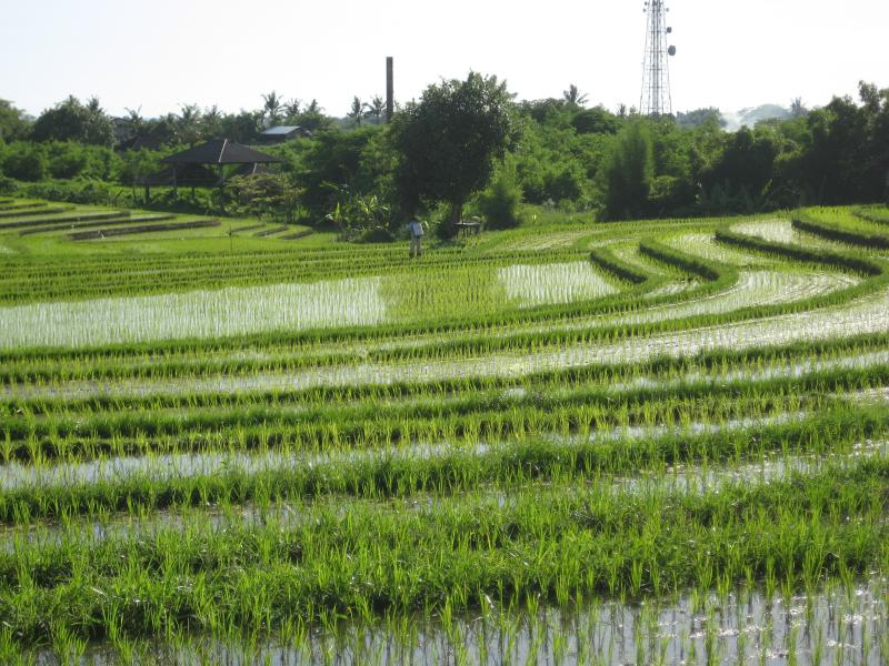 Rice terraces at end of our street