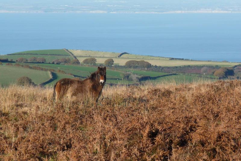 Exmoor pony near coast - Exmoor National Park