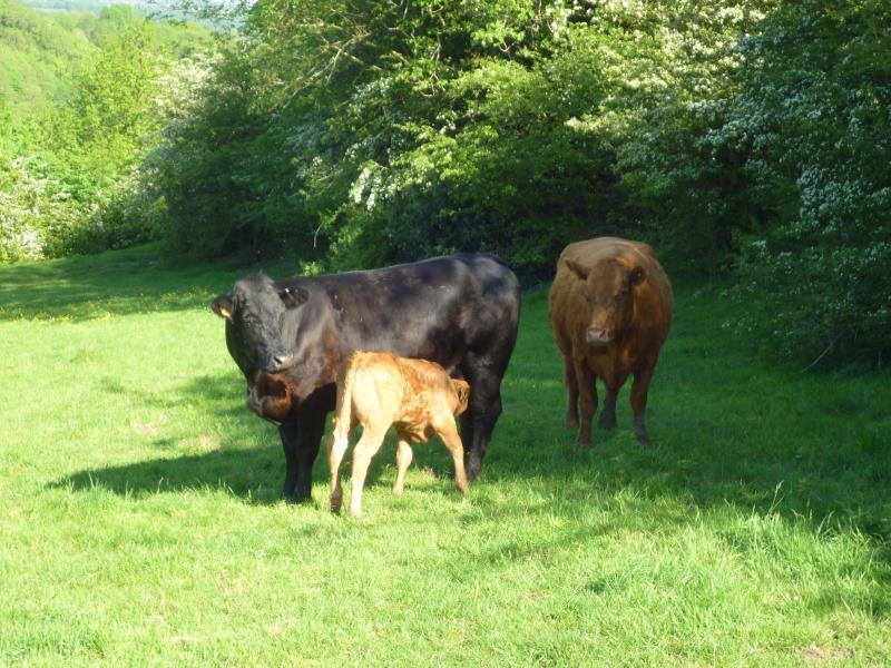 A calf enjoying his supper