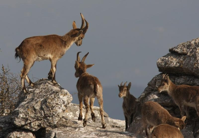 Wild Ibex at El Torcal, if you are lucky you can spot them among the rocks