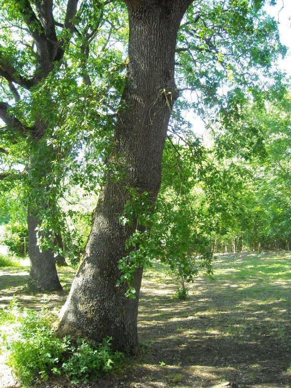 os velhos carvalhos ao redor no jardim natural