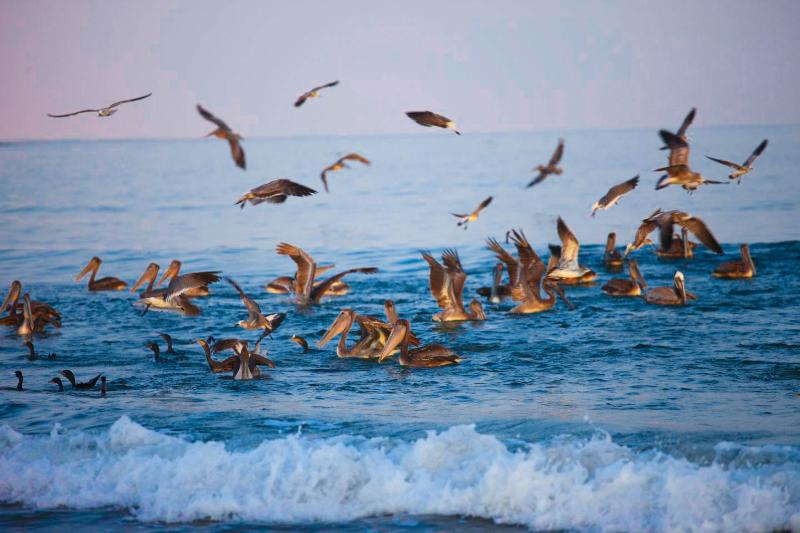 Early morning pelican feast in the Bay