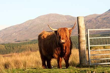 Highland cows, photographed from the garden