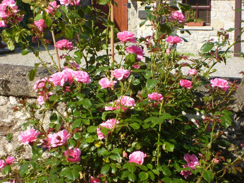 Welcoming pink rose bush