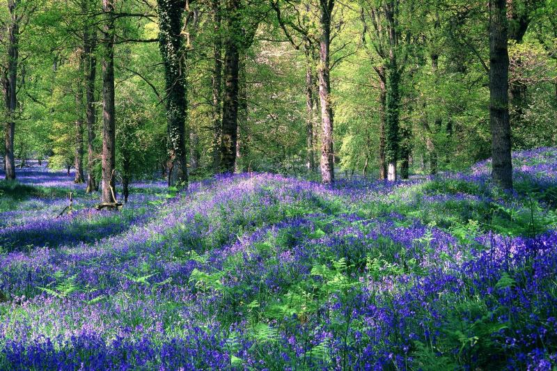 A carpet of bluebells can be found throughout the months of spring.