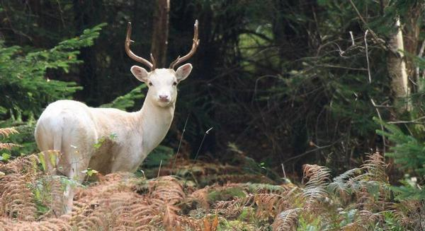 The rare white stag is native to the Forest of Dean