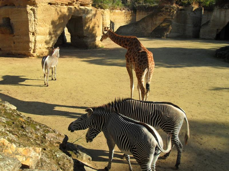 Giraffe and zebra at Doue La Fontaine zoo