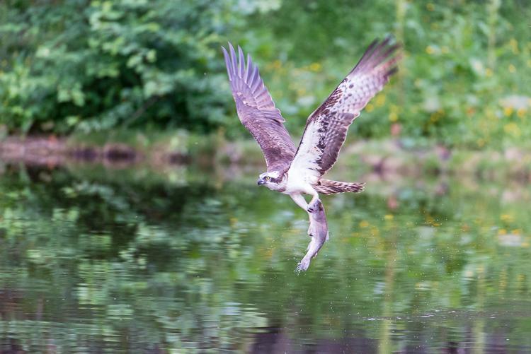 Osprey at Aviemore