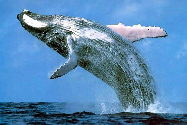 Whale-watching tours available (in season) near Cabinas Ola Mar