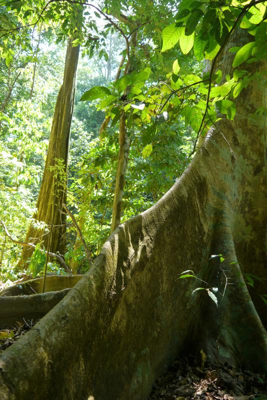 Trees on the trail to a secluded waterfall near Cabinas Ola Mar
