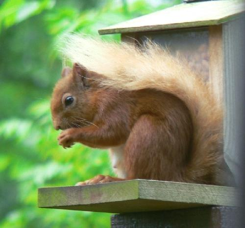 Red squirrel on balcony.