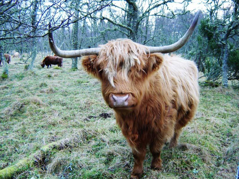 Cawdor Castle Highland cow.