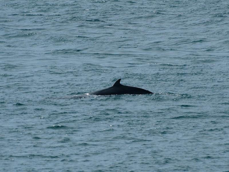 A Minke whale surfacing at Neist Point
