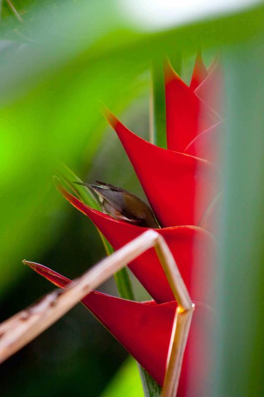 'Zoizo blan' ('oiseau blanc', endémique) se désaltérant dans les balisiers de Ti