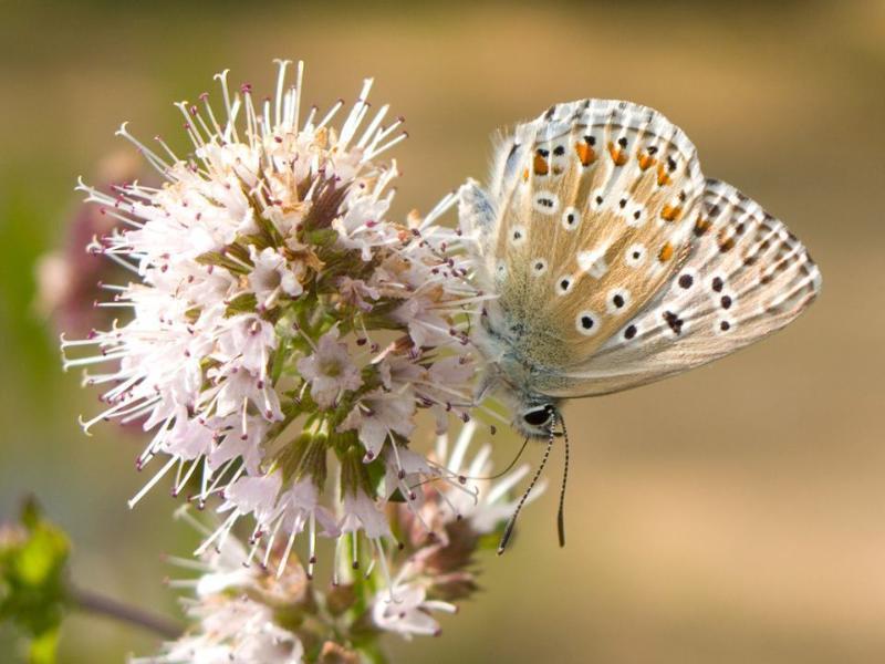 38 espèces de papillons diurnes et nocturnes ont été repérés sur les buissons de lavande