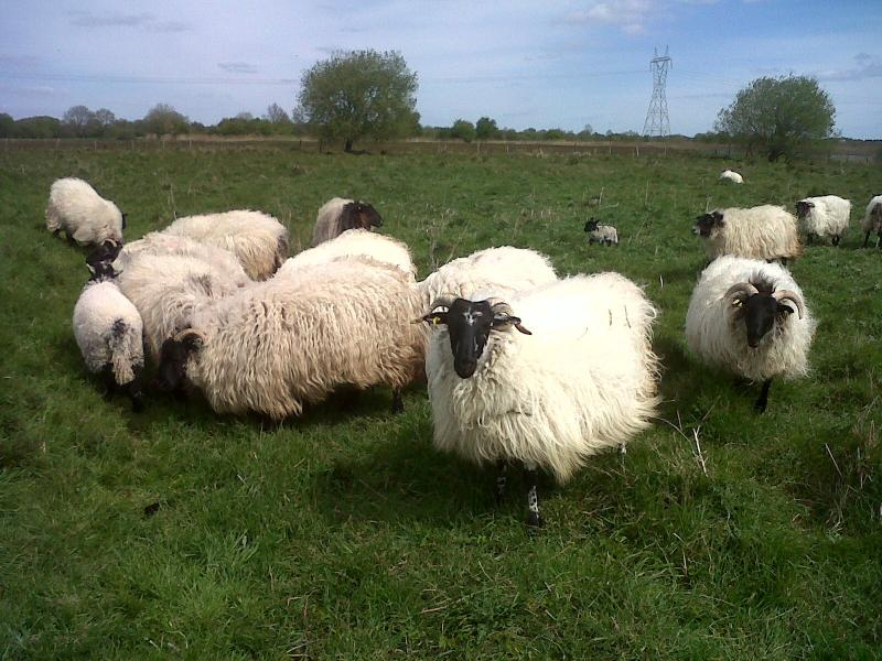 sheep by the shannon river