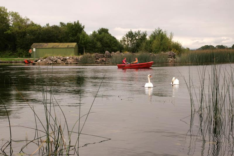 swans on the shannon river