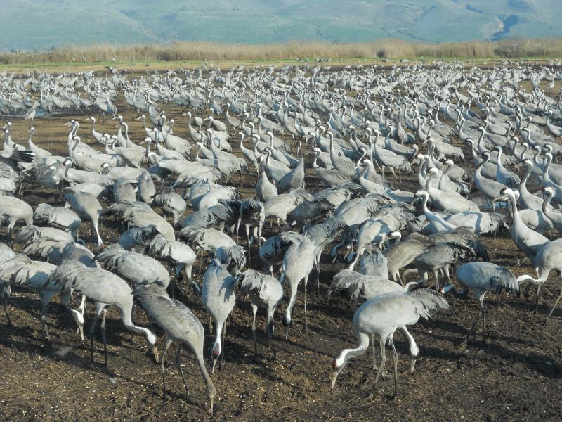 Cranes in Agamon Hahula lake