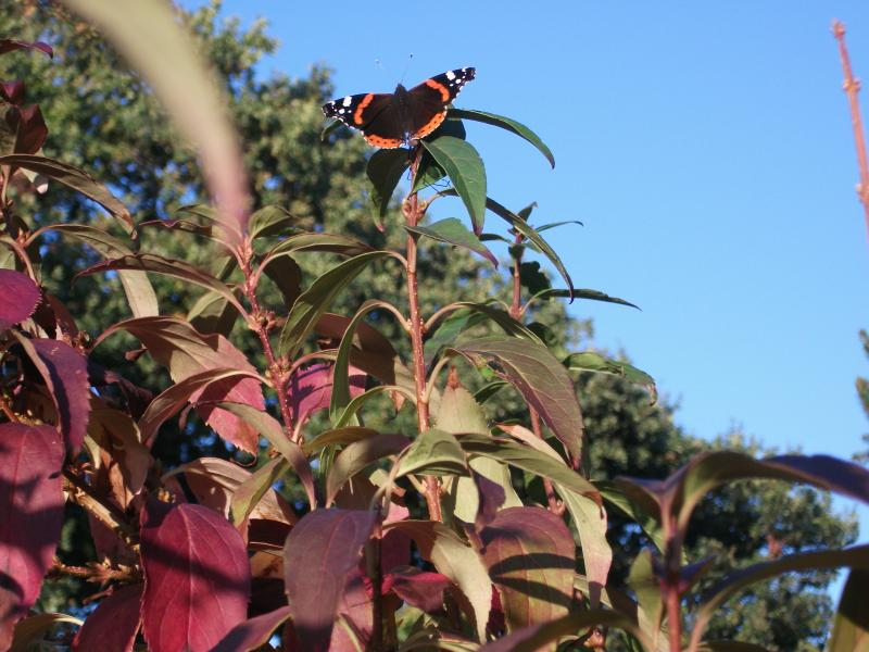 Some of the wildlife - Red Admiral