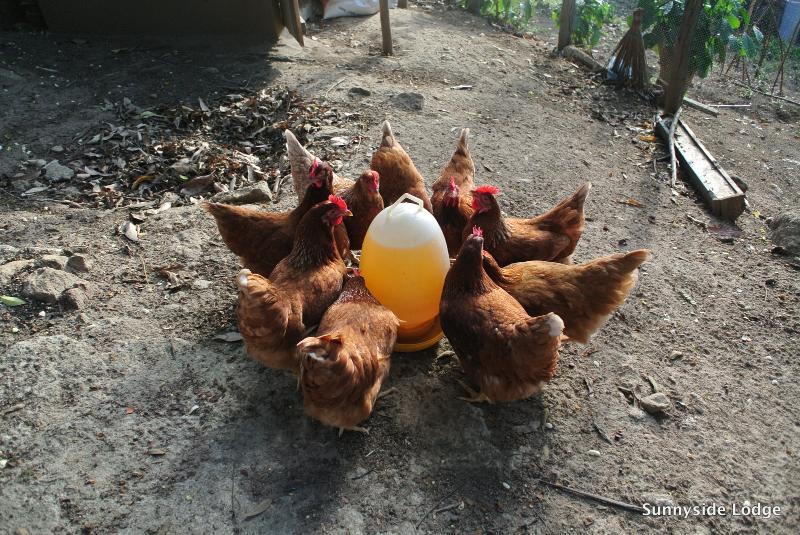 Y hay huevos frescos también de nuestras capas de libre