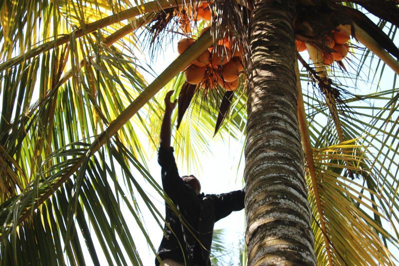 Re di cocco in giardino