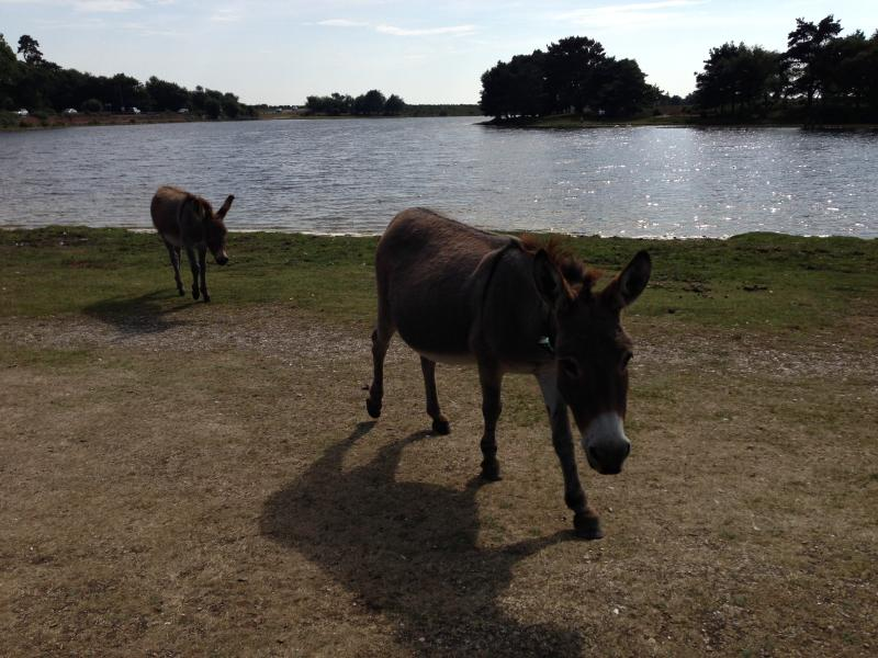 Donkeys at Hatchet Pond, at the top of the lane.