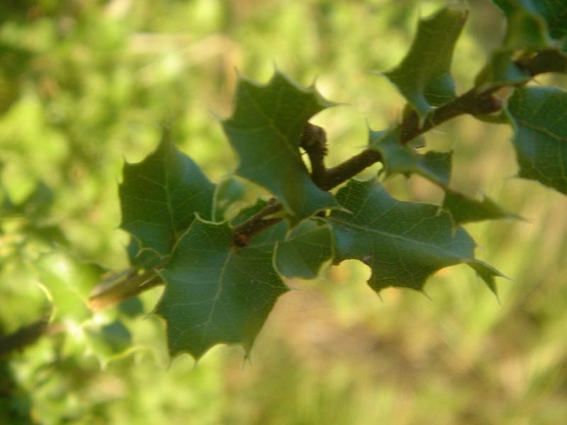 La villa s'appelle Agarrus car il y en a beaucoup dans le jardin; voici un agarrus mi-chêne mi-houx