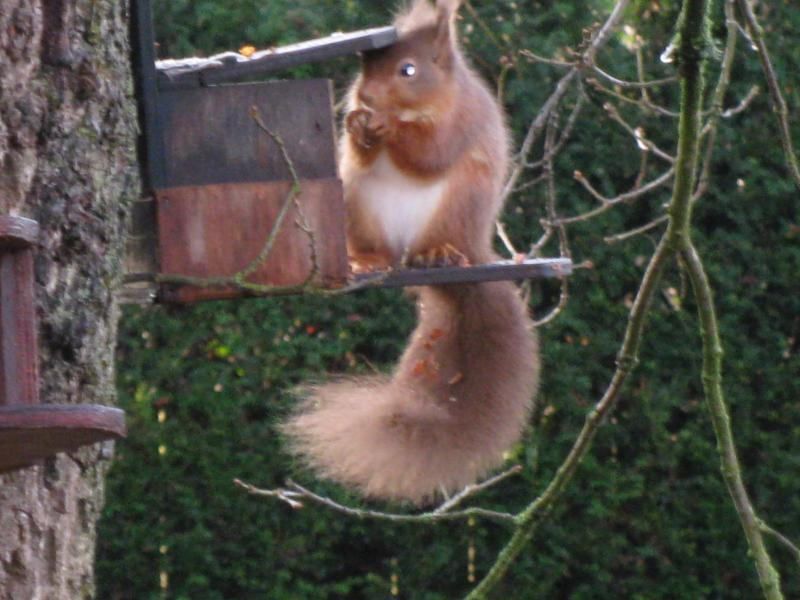Red Squirrel at Dalemain