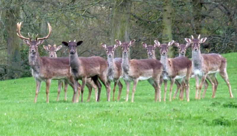 Our family of fallow deer pictured in eight acre meadow one autumn morning