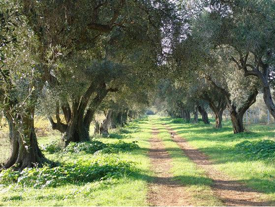 Surrounding olive grove abundant with wild flora, bees and butterflies flourishing amongst the tree