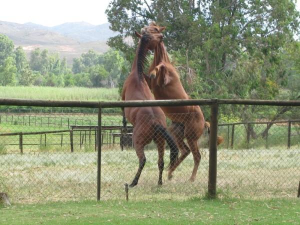 Young horses at play