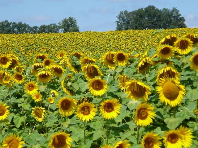 Nearby sunflower field